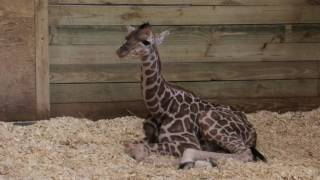 Blank Park Zoo Welcomes Baby Giraffe