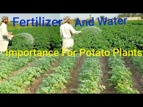, title : 'How To Fertilize And Water Potato Plants | Best Fertilizer For Potatoes | Tips To Fertilize Potatoes