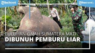 Puluhan Gajah Sumatera Mati Diburu di TNWK Lampung, Ditemukan Jaring Kabut dan 7 Jerat Nilon