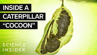 What's Inside A Caterpillar 'Cocoon?'