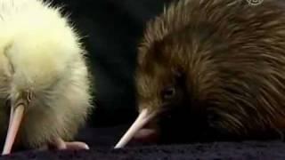 RARE White Kiwi Bird