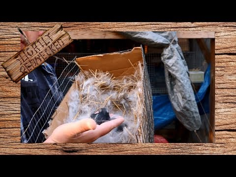 , title : 'When to Check On Newborn Rabbits - The SR Rabbit Update 4-9-18