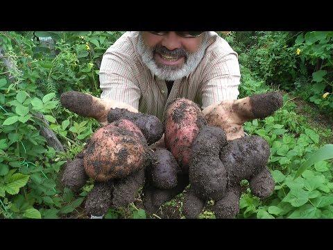 , title : 'No Commercial Fertilizer Potatoes!