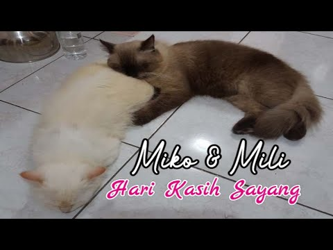 hari-kasih-sayang-kucing-miko-dan-mili