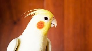 How to Take Care of a Cockatiel   Pet Bird