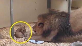 Bedrohlicher Löwe trifft auf ein Löwenbaby: Seine Reaktion ist erstaunlich!
