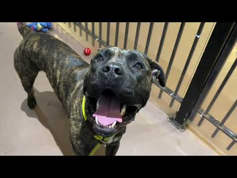 Jackson, an adopted Cane Corso Mix in Chicago, IL_image-1