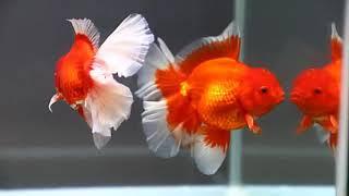 Goldfish Kingdom Beautiful Oranda