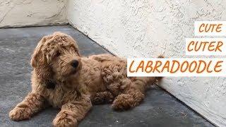 Cute, Cuter, Labradoodle   Cute Compilation #33