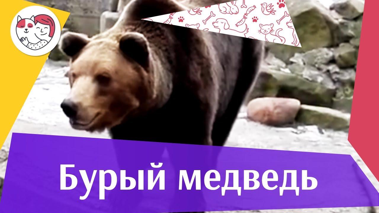 Бурый медведь Места обитания на ilikepet