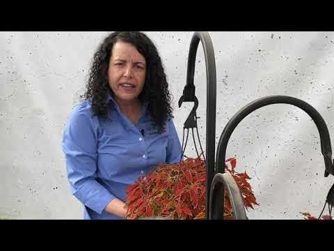 FlameThrower Coleus - Product Profile thumbnail