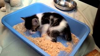 4-week old VOKRA Foster kitten learning to use the litterbox