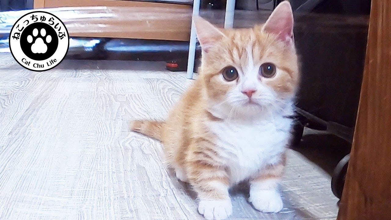 短足マンチカンの子猫にサランラップを仕掛けてみた【短足マンチカンの子猫|てと君の日常|猫動画】Munchkin kitten is practicing jumping on Saran Wrap