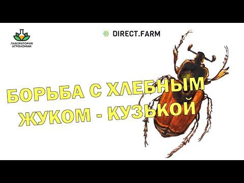 Хлебный жук-кузька