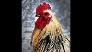 לימוד סגנון התרנגול ❖