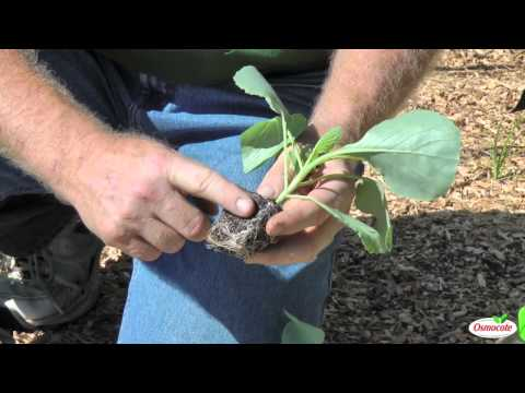 , title : 'Garden Tutorial: Planting Cold Crops (Cabbage, Kale, Brussels Sprouts, Cauliflower)