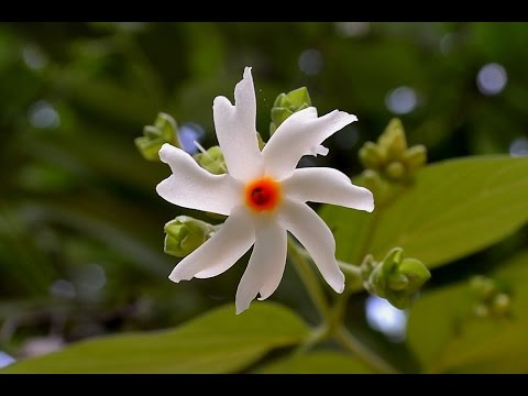 Video Holy Tree of Hindu Parijatak or Nyctanthes arbor tristis or Night flowering Jasmine