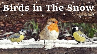 Videos for Cats and People to Watch - Birds in The Snow SPECTACULAR