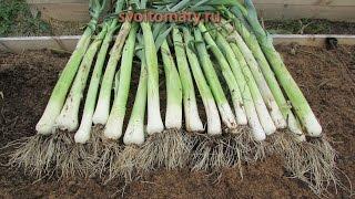 Смотреть онлайн Как вырастить лук-порей на своем огороде
