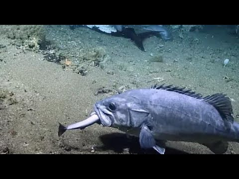 Deep Sea Researchers Stunned When They Film A Grouper Swallowing A Shark Whole