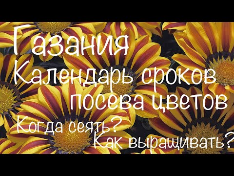 Газания (Гацания). Сроки посева цветов на рассаду. Календарь посева цветов.