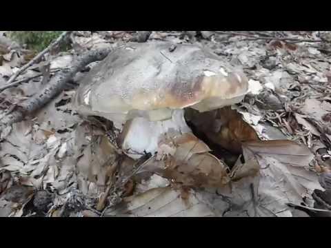Analogo di unguento da un fungo