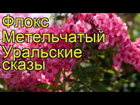 Флокс метельчатый Уральские сказы. Краткий обзор, описание phlox paniculata Uralskie skazy