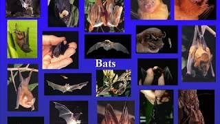Evolution of Flight and Echolocation in Bats