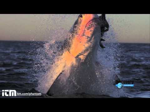 Attaques de grands requins blancs en slow motion