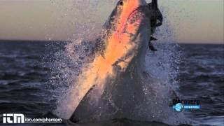 Le requin blanc attaque en ultra ralenti. Spectaculaire !