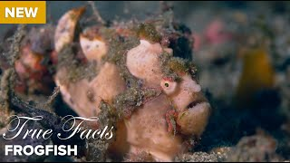 True Facts: Frog Fish