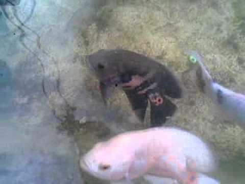 Video Ikan oskar makan jangkrik .mp4