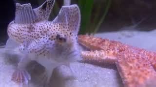 Critically Endangered Spotted Handfish