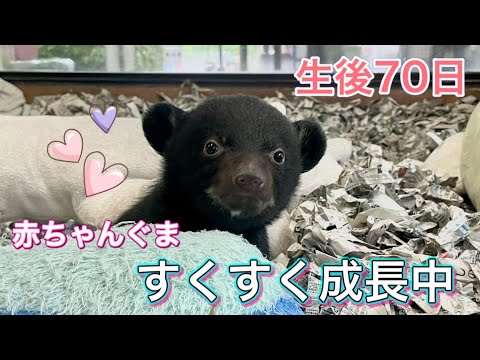 【生後70日】ツキノワグマの赤ちゃん、すくすく成長しています。
