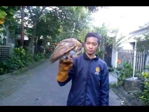 Video Barn Owl Training, Cara melatih burung hantu