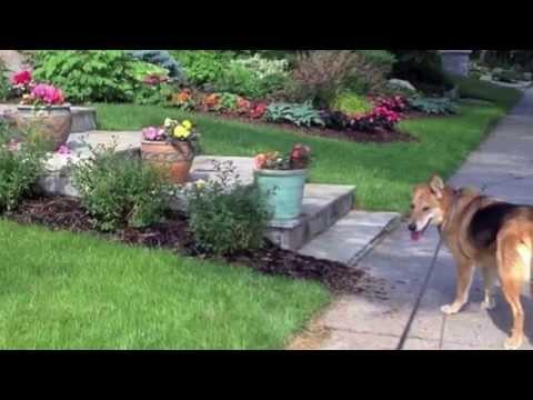 Coco - adoption pending, an adopted Shepherd & German Shepherd Dog Mix in Ottawa, ON