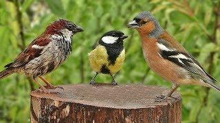Garden Birds in The Gentle Rain - One Hour of Relaxing Rain and Bird Sounds