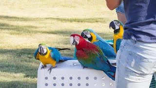 Free Flight Macaws