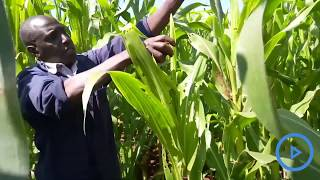 Maize farmers in the North Rift region chock fall armyworms with loam