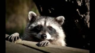 4 Easy Raccoon Repellents to Keep Those Pesky Thieves Away