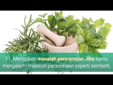 Video 21 Manfaat Daun Suji Untuk Kesehatan, Kecantikan, Obat dan Makanan