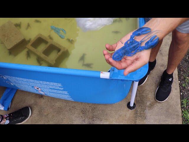 $10,000 BLUE LOBSTER Challenge Winner Feeds Jaws!