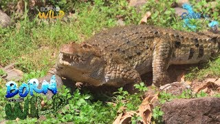 Born to Be Wild: Is Andeng a hybrid crocodile?