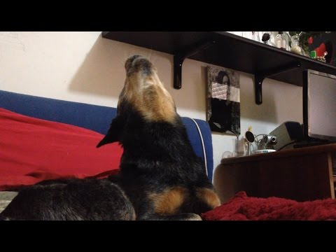 Singing And Howling Dog - Funny Australian Cattle Dog