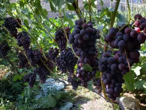 виноград КОДРЯНКА  от А до  Я