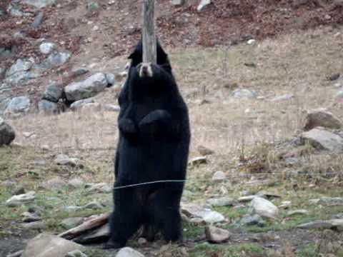 Gấu múa cột xem mà tếu