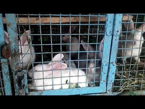 , title : 'Rabbits