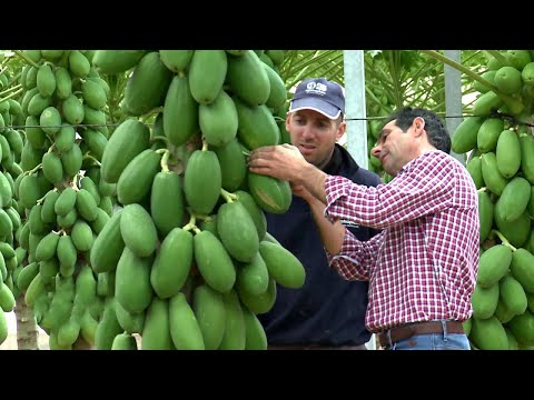 , title : 'Awesome Papaya Cultivation Technology -  Papaya Farming and Harvest - Papaya Processing
