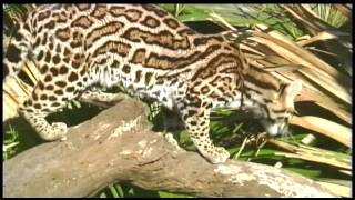 Endangered Ocelot Fatality, Less than 50 Estimated to Remain in Texas