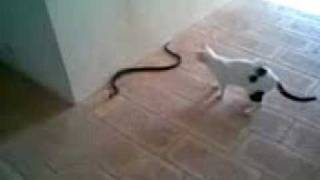 Смотреть онлайн Кошка против змеи
